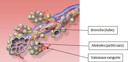 schéma du coeur cm2